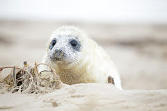 White grey baby seal  looks inquisitively with big Royalty Free Stock Photo