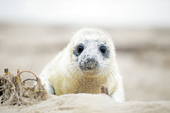 White grey baby seal  looks inquisitively with big Stock Photos