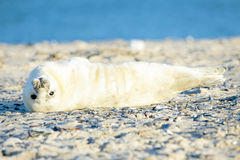White grey baby seal looks inquisitively with big Stock Photography