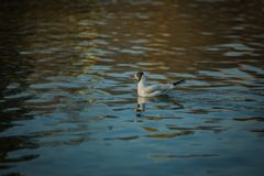 White and grey black headed gull. Swimming in river, sunny day, reflection in blue water royalty free stock photo