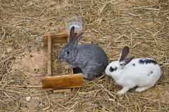 White and Grey bunies Royalty Free Stock Image
