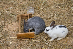 White and Grey bunies Royalty Free Stock Images