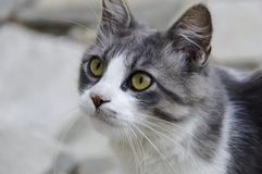 White and grey cat Royalty Free Stock Photo