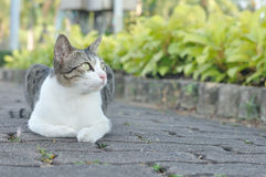 White and grey cat is crouching in garden Royalty Free Stock Images