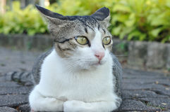 White and grey cat is crouching in garden Stock Photo