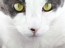 White and Grey Cat Face Stock Photo