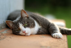 The white and grey cat laying and relaxing at the sunset Royalty Free Stock Image