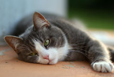 The white and grey cat laying and relaxing at the sunset time Stock Photography
