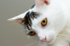 White-grey cat with yellow eyes. Portrait of a white-grey cat with yellow eyes stock photos