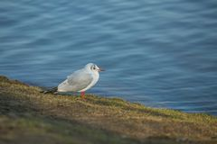 White and grey colored black-headed gull. With orange beak and legs sitting on riverbank with green grass, blue water in background, sunny winter day in a city royalty free stock photography