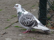 White and grey dove in a park Royalty Free Stock Photos