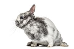 White and grey dwarf rabbit, isolated Royalty Free Stock Photos