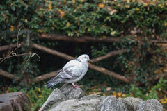 White and grey feathered pigeon sitting on a rock. stock photography