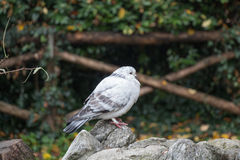 White and grey feathered pigeon sitting on a rock. stock image