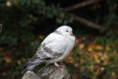 White and grey feathered ruffled up pigeon sitting on a stone. The view of a white and grey feathered ruffled up pigeon sitting on a stone Royalty Free Stock Image