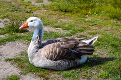 White Goose. A white and grey goose sitting in a restful position on the green grass royalty free stock images