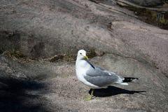 White-grey gull walking on the rock. White-grey gull walking on the big rock in Helsinki downtown Stock Image