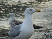 White and grey gulls. Birds. Sea. Beak. Eye. Smooth plumage. Look of gull. Beautiful feathery Royalty Free Stock Images