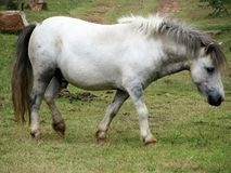 White and Grey Horse Royalty Free Stock Image