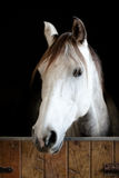 White and grey horse head in the stable. Staring. Black background Royalty Free Stock Photography