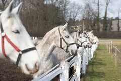 White and grey horse heads portrait in row by the fence in the horse farm. Royalty Free Stock Photography