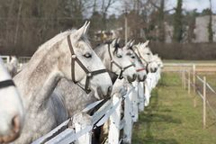 White and grey horse heads portrait in row by the fence in the horse farm. Royalty Free Stock Photo
