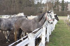 White and grey horse heads portrait in row by the fence in the horse farm. Stock Image