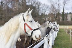 White and grey horse heads portrait in row by the fence in the horse farm. Royalty Free Stock Image