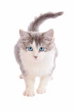 White and Grey Kitten Stock Image