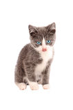 White and Grey Kitten Royalty Free Stock Images