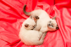 White and grey kittens Royalty Free Stock Photo