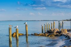 A white and grey Laughing Gull in Anna Maria Island, Florida. A seagull enjoying the epic scenery of sunset in the beach of Anna Maria Key stock photography