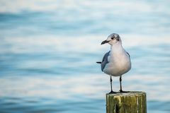 A white and grey Laughing Gull in Anna Maria Island, Florida. A seagull enjoying the epic scenery of sunset in the beach of Anna Maria Key royalty free stock photo