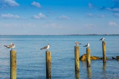 A white and grey Laughing Gull in Anna Maria Island, Florida. A seagull enjoying the epic scenery of sunset in the beach of Anna Maria Key stock images