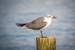 A white and grey Laughing Gull in Anna Maria Island, Florida. A seagull enjoying the epic scenery of sunset in the beach of Anna Maria Key stock photos