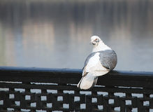 White-grey pigeon Stock Images