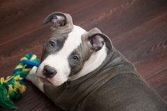 White and Grey Pitbull laying down with toy Stock Photo