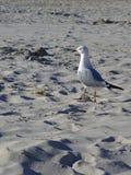White Grey Seagull on beach sand. On sunny day stock photos