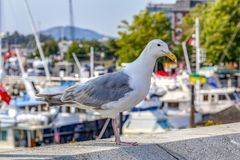 White and grey seagull. A beautiful white and grey seagull at the harbor looking at the camera in a sunny day stock photos