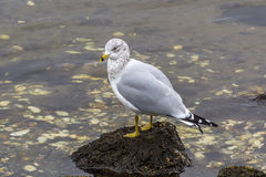 White and grey seagull on rock in ocean full of seashells. White and grey seagull standing on rock in the middle of seashells Royalty Free Stock Photo