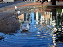 Seagull Standing in City Fountain or Pond. A white and grey seagull standing in shallow water in a city fountain or pond, surrounded by concentric circle ripples stock photos