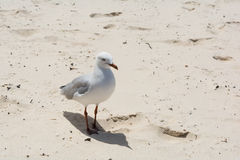 The white and grey seagull stands on Stock Images