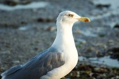 White and grey seagull. Watching towards the Black sea in Bulgaria royalty free stock image