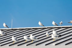White and Grey Seagulls on Grey Roof Royalty Free Stock Image