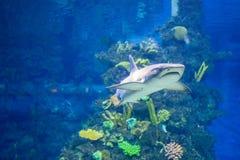 White grey shark Stock Photography