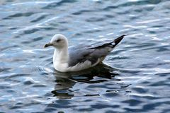 White and grey small seagull peacefully floating on restless sea at sunset royalty free stock image