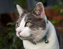 White and Grey Tabby Cat Close-up Guarding her Home Royalty Free Stock Images