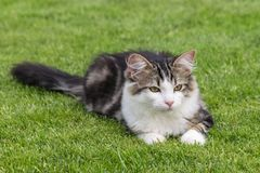 White and grey tabby cat lying on green grass. Closeup of white and grey tabby cat lying on green grass Stock Photo