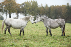 Welsh mountain ponnies in autumn. White and grey welsh mountain ponnies in autumn Royalty Free Stock Image