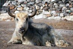 White and grey yak Stock Photo